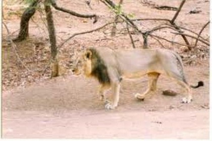 Lion at the National Park
