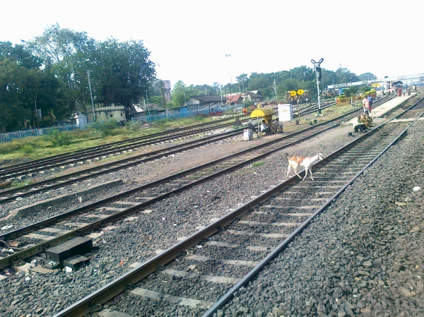 Daund India  city images : Pune photos : Goat crossing railway track near Daund railway station