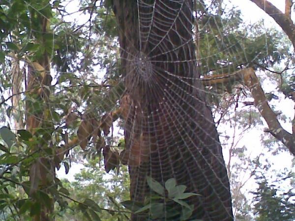 Spider net on tree at Kodai Hills