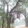 Banyan tree view at Padmanabhapuram in Nagercoil