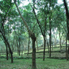 Kanyakumari district Tapped Rubber trees