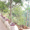 Lined trees at Mathur Bridge near Nagercoil