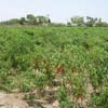 A view of Red chilli spices at Tuticorin district