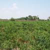 A view of Red chilli plants at Thoothukudi district