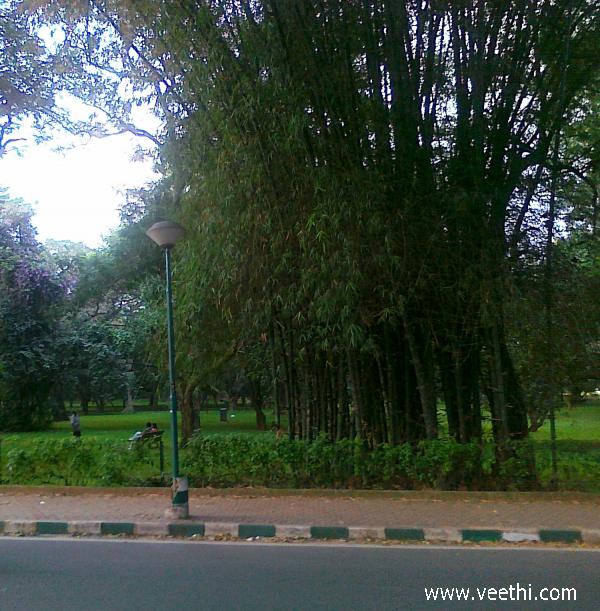 bamboo-trees-inside-cubbon-park-in-bangalore