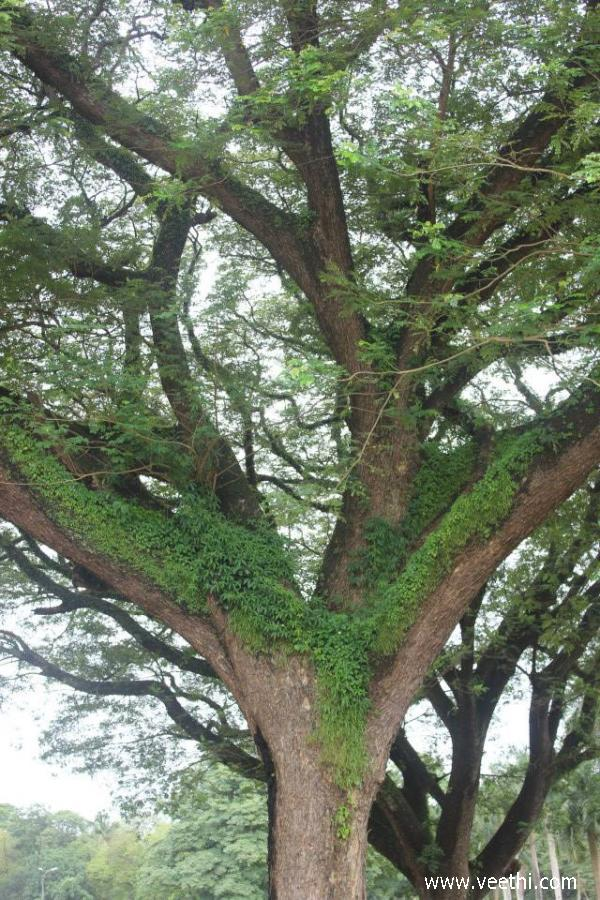 beautiful-tree-in-goa