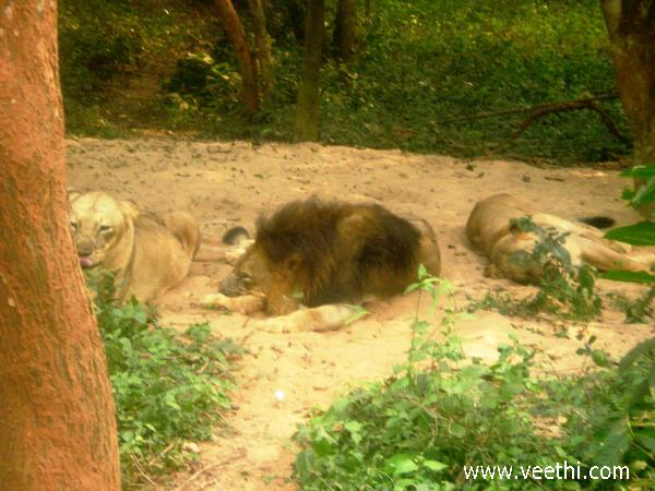 lion-and-lionesses-taking-rest-in-the-sand