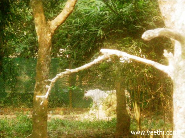 a-white-tiger-is-roaming-in-the-fenced-area