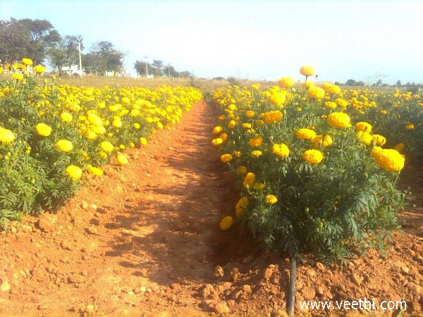 banthi-flower-cultivation-at-hosur-karnataka