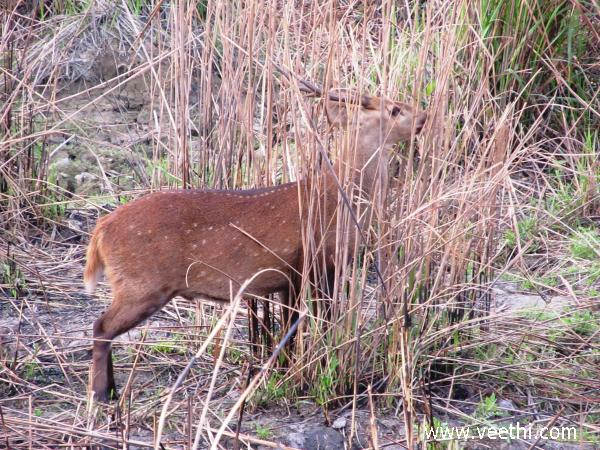 deer-in-kaziranga-national-park-assam