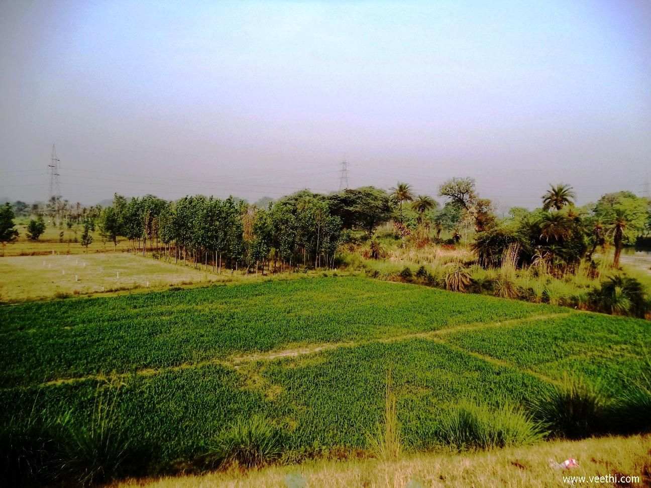 Maize Plantation, Khatauli